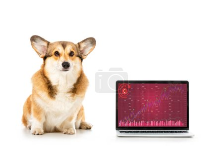 Photo for Adorable welsh corgi pembroke sitting near laptop with graph on screen isolated on white background - Royalty Free Image