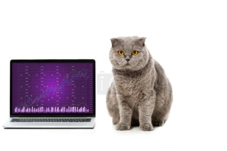 grey british shorthair cat near laptop with graph on screen isolated on white background