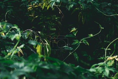 Photo pour Gros plan tiré des branches vertes dans la forêt - image libre de droit