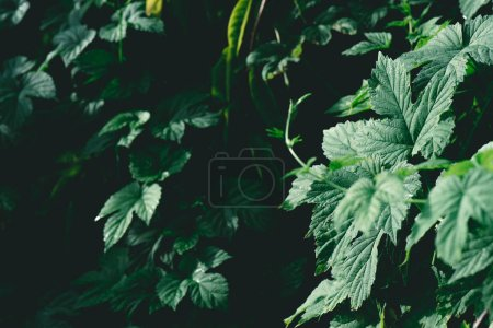 close-up shot of beautiful ivy leaves for background