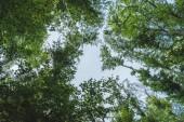 """Постер, картина, фотообои """"вид снизу голубого неба через ветви деревьев"""""""
