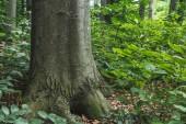 """Постер, картина, фотообои """"крупным планом ствола массивных деревьев, растущих в лесу"""""""