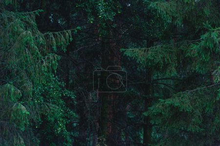 Photo for Full frame shot of dramatic pine forest - Royalty Free Image