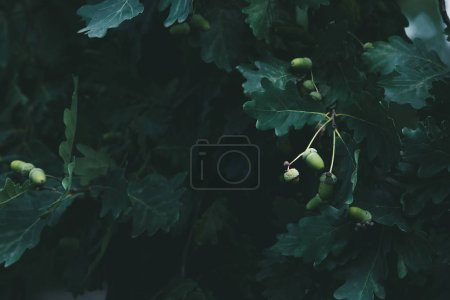 close-up shot of green oak branches with acorns