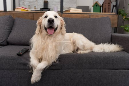 cute golden retriever lying on couch with tv remote control and looking at camera