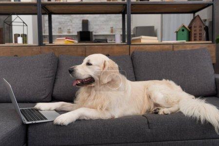 Photo pour Adorable golden retriever couché sur le canapé à la maison avec ordinateur portable - image libre de droit