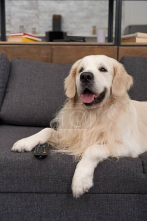cute golden retriever lying on couch with tv remote control