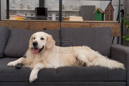 adorable golden retriever lying on couch with remote control