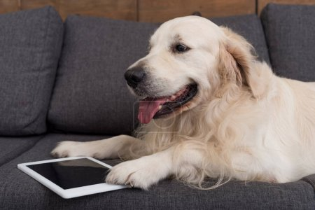 close-up shot of cute golden retriever lying on couch with tablet