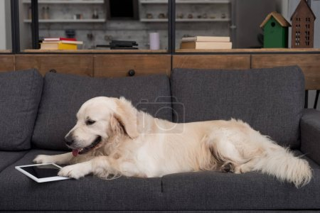 cute golden retriever lying on couch with tablet