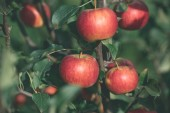 close up of organic ripe autumnal apples on tree branches in garden