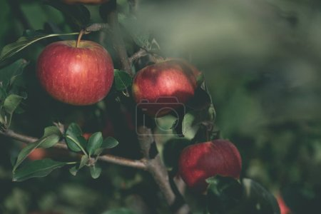 close up of appetizing red apples on tree branch in garden