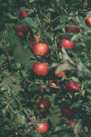 tasty ripe red apples on tree branches in garden