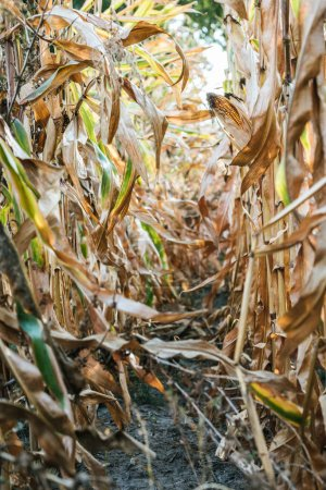 autumnal withering corn field with corn cob