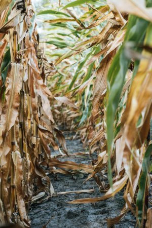rows of plants in autumnal withering corn field