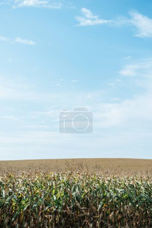 autumnal field with corn and blue sky at countryside