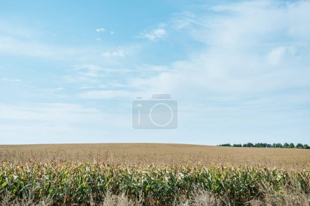 Photo for Autumnal field with corn and blue cloudy sky - Royalty Free Image