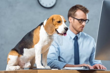 Photo for Cute beagle sitting on table while businessman in eyeglasses working on computer in modern office - Royalty Free Image