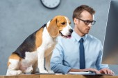 cute beagle sitting on table while businessman in eyeglasses working on computer in modern office