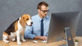 high angle view of businessman in eyeglasses working on computer at table with beagle in modern office