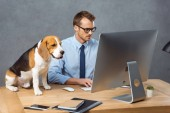focused businessman in eyeglasses working on computer at table with beagle in modern office