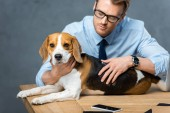 businessman in eyeglasses playing with adorable beagle at table with smartphone in modern office