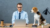 focused businessman in eyeglasses working on laptop while beagle sitting near on table in modern office