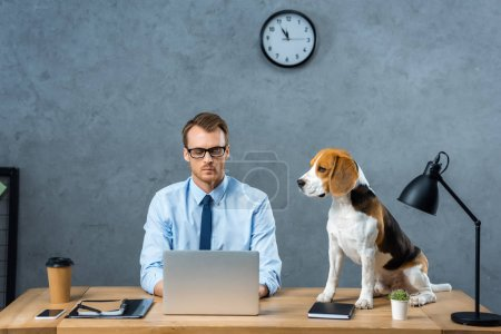 Photo for Concentrated businessman in eyeglasses working on laptop while beagle sitting near on table in modern office - Royalty Free Image