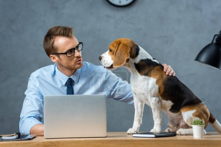 businessman in eyeglasses touching beagle at table with laptop in modern office