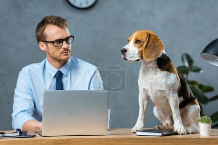 Photo for Selective focus of businessman in eyeglasses working on laptop while beagle sitting on table in modern office - Royalty Free Image