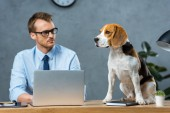 selective focus of businessman in eyeglasses working on laptop while beagle sitting on table in modern office