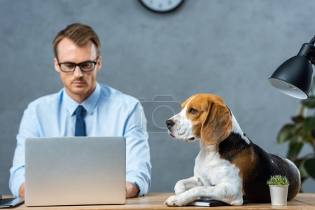 Photo pour Homme d'affaires grave en lunettes travaillant sur ordinateur portable tandis que beagle assis sur la table dans le bureau moderne - image libre de droit