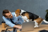 young businessman working on laptop and beagle sitting near on table in modern office