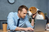 concentrated businessman working on laptop while beagle sitting on table in modern office