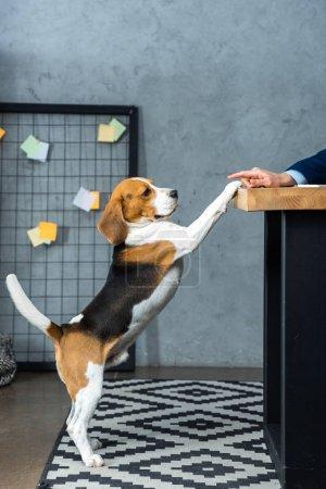 Photo pour Image recadrée de l'homme d'affaires assis à table et jouant avec beagle mignon dans le bureau moderne - image libre de droit