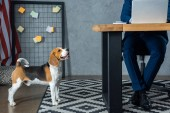 cropped image of businessman working at table with laptop while beagle standing near in modern office