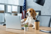 adorable beagle sitting on table with disposable coffee cup and laptop in modern office