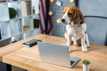 Photo pour Mise au point sélective du beagle assis sur table avec ordinateur portable et le smartphone dans le bureau moderne - image libre de droit