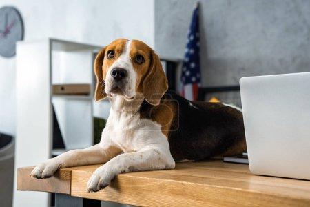 vista de cerca de lindo beagle sentado en la mesa con el ordenador portátil en la oficina moderna