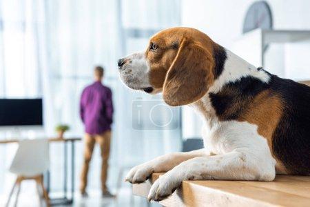 Photo pour Mise au point sélective d'adorable beagle assis sur la table dans le bureau moderne - image libre de droit
