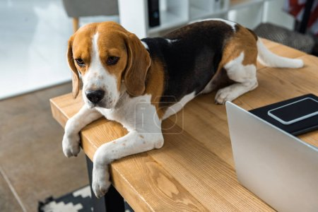 Photo for High angle view of beagle sitting on table with laptop and smartphone in modern office - Royalty Free Image