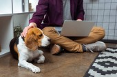 cropped image of male freelancer with laptop touching beagle in home office