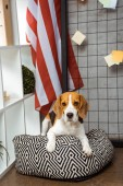 adorable beagle sitting on bean bag near american flag in modern office