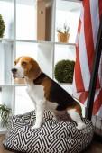 cute beagle sitting on bean bag near usa flag in modern office