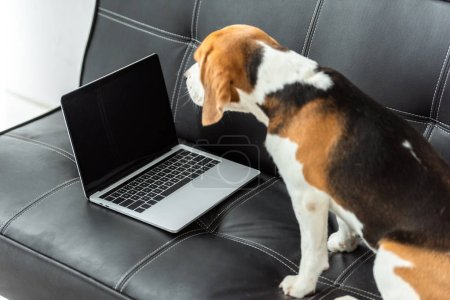 cute beagle sitting on sofa with laptop at home