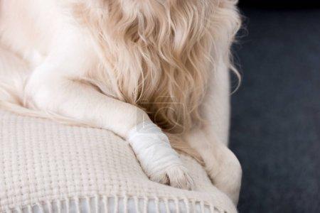 Photo pour Vue partielle du chien avec une patte bandée - image libre de droit