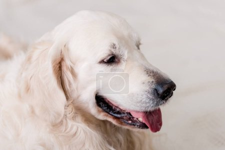 close up view of golden retriever dog