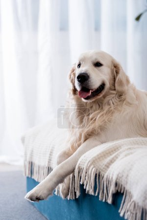 Photo for Happy dog with tongue stick out lying on bed with blue pillows - Royalty Free Image