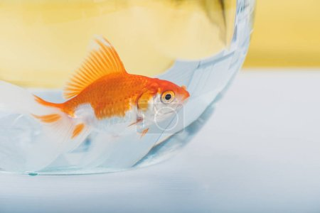 Photo for Bright gold fish in aquarium with clear transparent water - Royalty Free Image