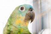 """Постер, картина, фотообои """"селективный фокус очаровательны яркие разноцветные Амазонки попугай голову"""""""